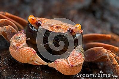 Orange carnaval crab