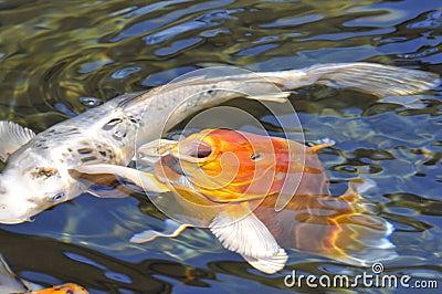 Pin koi orange carp painting on pinterest for Carpe koi orange