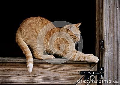 Orange Cat in Barn