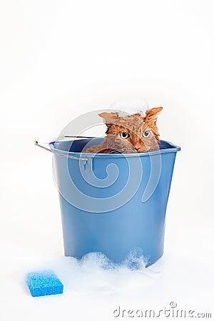 Orange Cat Getting a Bath in a Bucket