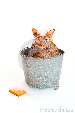 Orange Cat Getting a Bath in a galvanized Bucket