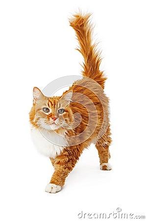 Free Orange Cat Walking Stock Images - 37406494