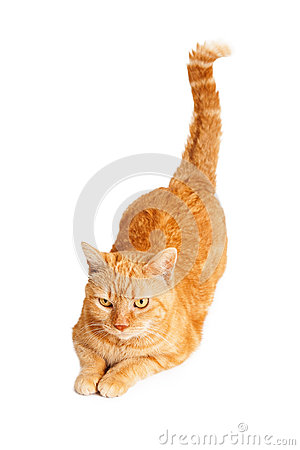 Free Orange Cat With Tail Up Royalty Free Stock Photography - 50443547