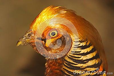 Orange Chick