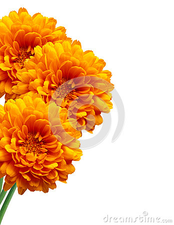 Free Orange Chrysanthemum Autumn Flower  On White Royalty Free Stock Images - 84104619