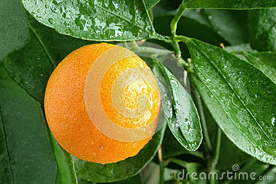 Orange on a citrus tree.