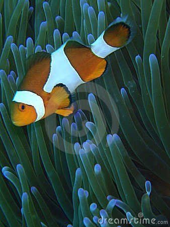 Orange Clown Fish Stock Photo - Image: 9228880