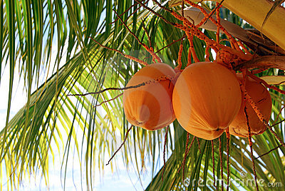 Orange Coconut Tree