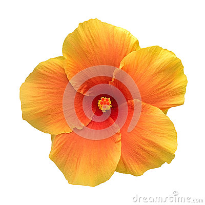 Free Orange Color Hibiscus Flower Top View Isolated On White Background, Path Stock Images - 98203524