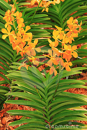 Orange color orchid plant