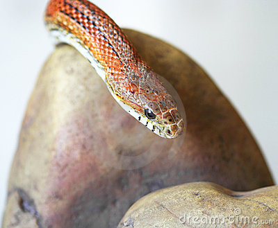 An Orange Corn Snake
