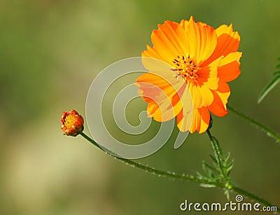 Orange Cosmos flower with Bud