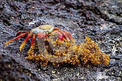 Orange Crab Eating