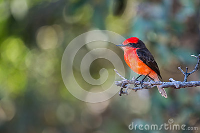 Orange Crested Bird