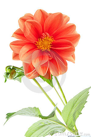 Free Orange Dahlia Stock Image - 2996011