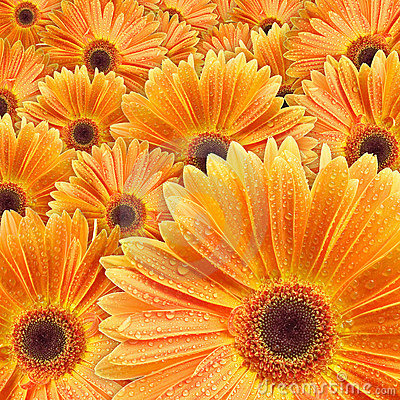 Orange daisies with water drop