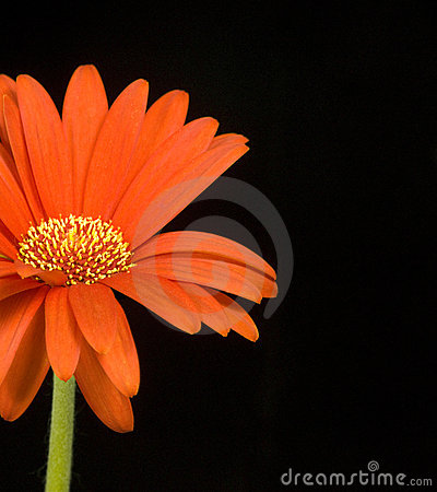 Orange Daisy on Black Background