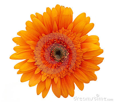 Free Orange Daisy Flower Stock Photo - 1602180