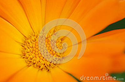 Orange daisy flower inside detail. Macro