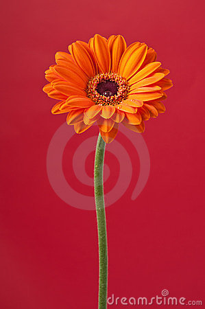 Orange Daisy Gerbera Flower on red
