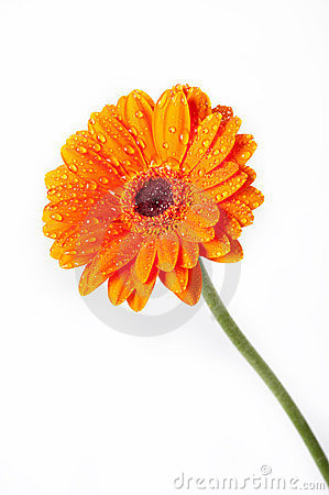 Orange Daisy Gerbera Flower on white