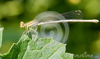 Orange damselfly on a leaf
