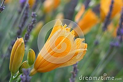 Orange Day Lilies in Lavender Field of Lavender