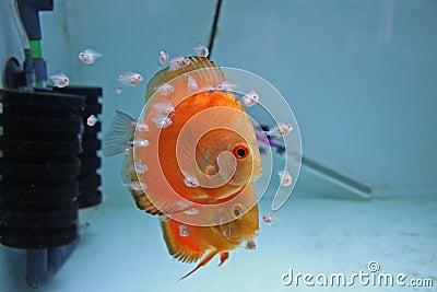 Orange Discus Fish With Babies