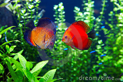 Orange Discus or  Symphysodan Discus