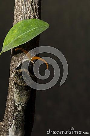 Orange Dog Caterpillar