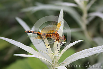 Orange Dragonfly on White Plant