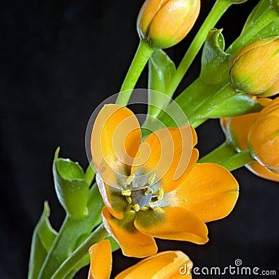 Free Orange Dubium Flower And Plant Royalty Free Stock Photography - 5576187
