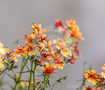 Orange Erysimum