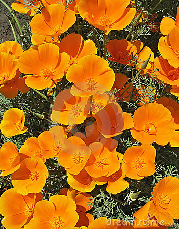 Orange eschscholzia - flower backgroung
