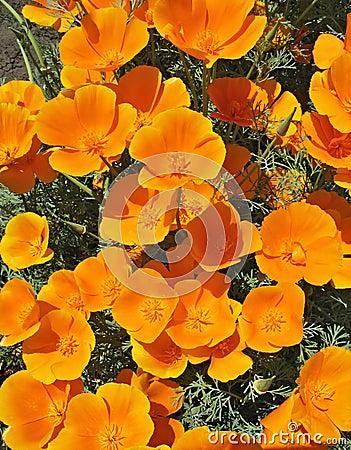 Orange eschscholzia - flower backgroung