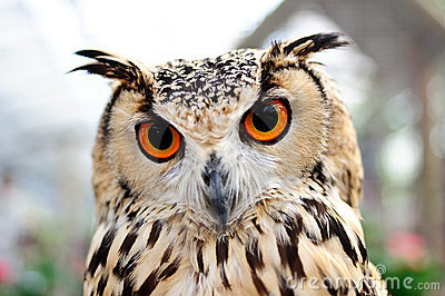 Orange Eyes Owl