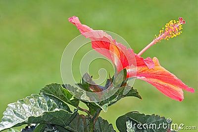 Orange för blomningblommahibiskus