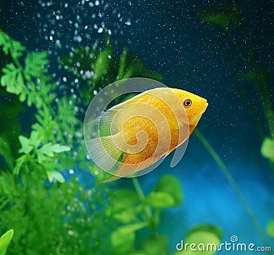 Free Orange Fish Among The Bubbles In The Aquarium. Cichlasoma Severum,cichlid Stock Photography - 136134652
