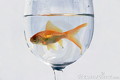 Orange Fish inside a cup