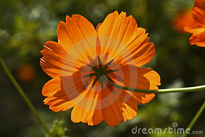 Orange Flower from behind