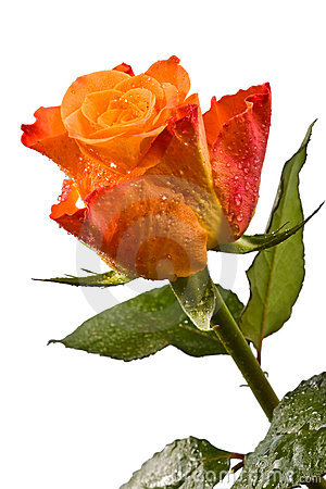 Free Orange Flower, Bright Rose Stock Photos - 12884163