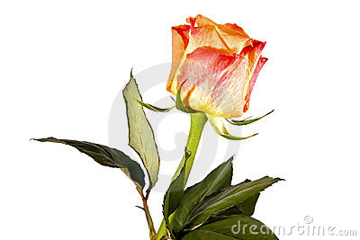 Orange flower, bright rose