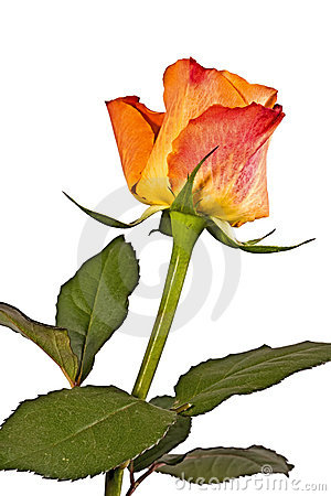 Orange flower, bright rose o
