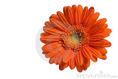 Orange Flower Isolated