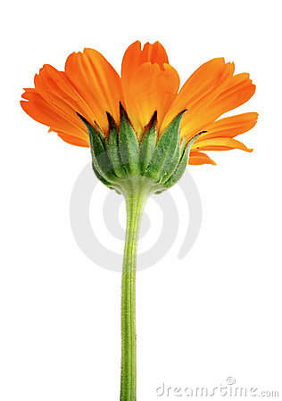 Orange flower with long green stem isolated