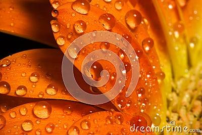 Orange flower macro water drops