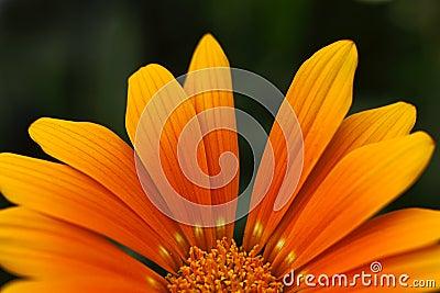 Orange flower petals