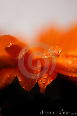 Orange flower with water drops