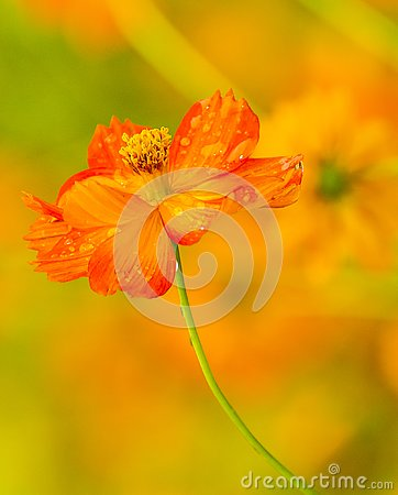 Free Orange Flower With Water Drops Royalty Free Stock Images - 130554159