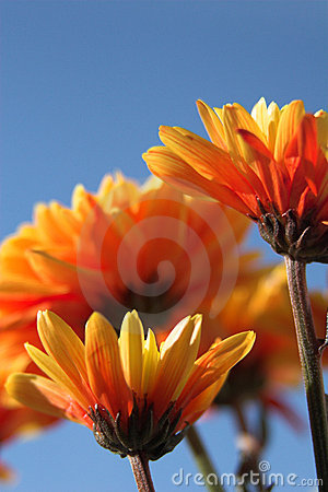 Orange flowers & blue sky